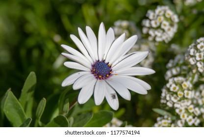 White Gazania Daisy Flower with Purple Centre - White Osteospermum Daisy Flower with Purple Centre