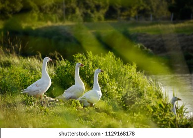 White geese bird animals standing by nature water in Holland, Netherlands.