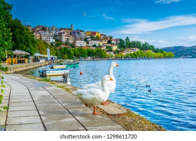 White geese with Kastoria town on background in Greece