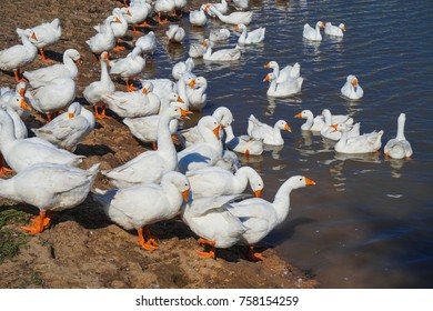 White geese on the shore of a pond in a poultry farm.