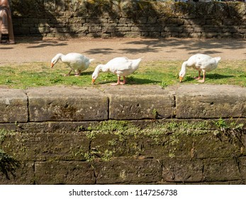 White geese on a towpath