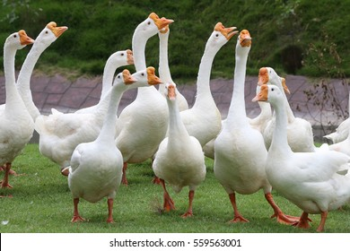 White geese in Thailand