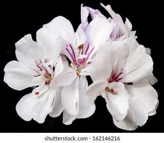white geranium with a dark background
