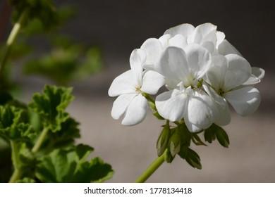 White geranium in front of dark background