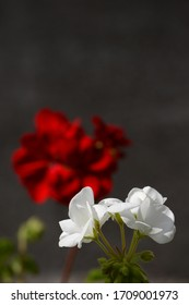 White geranium with red geranium in the background