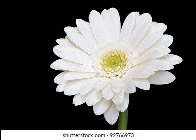 White Gerbera Daisy Isolated on Black Background