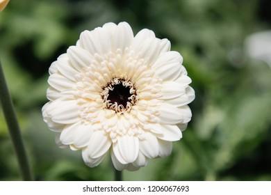 White Gerbera Daisy in the Wild Gardens