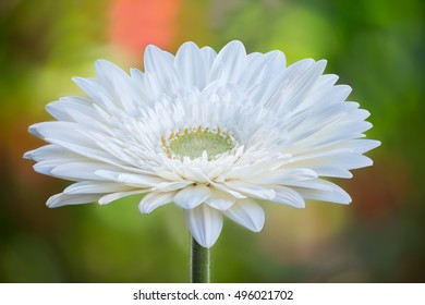 White gerbera flower on stem isolated on colourful out of focus background