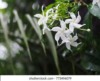 white Gerdenia Crape Jasmine, white flowers under natural sunlight with dark green blur natural light effect selective focus shallow depth of field blur background