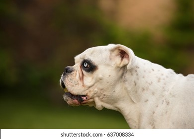 White german boxer look up/beautiful and unique dog/czech republic in europe