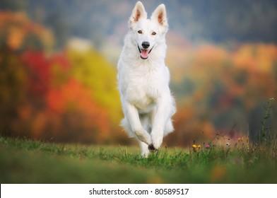 White German Sheepdog Weisser Schweizer Schäferhund Berger Blanc Suisse