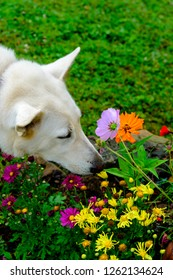 White German shepherd guard dog stopping to smell the flowers