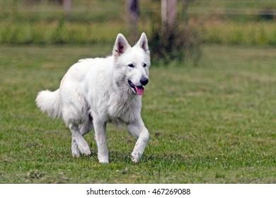 White German Shepherd on a green meadow