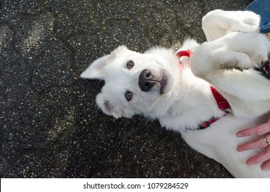 A White German Shepherd puppy laying on her back while getting a belly rub