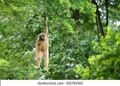 White gibbon cute monkey holding and hanging on tree