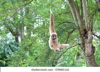 White gibbon cute monkey holding and hanging on tree