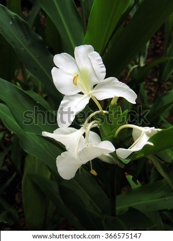 White Ginger Flowers Fort Canning Park Stock Photo Edit Now