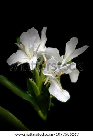 White Ginger Hedychium Coronarium Flowers Blooming Stock Photo Edit