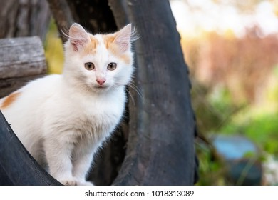 white ginger kitten sits on a rubber tyre and looking into the distance, autumn background