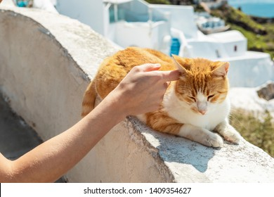 white and ginger mixed stray cat in Oia on Santorini, enjoying to be petted by human