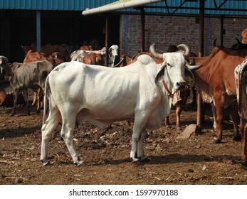 white Gir cow in my farm Maharashtra