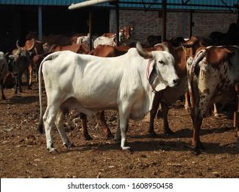 white Gir cow of my farm Maharashtra