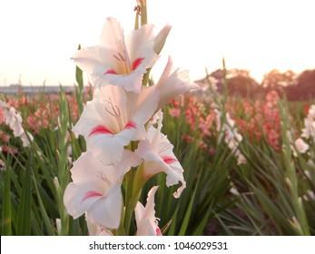 White Gladiolus, New Delhi, March 2018