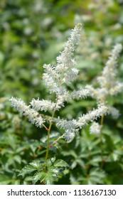 White Gloria Astilbe flower - Latin name - Astilbe x arendsii White Gloria