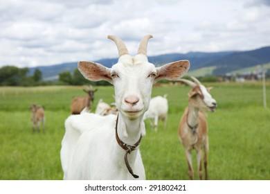 Die weiße Ziege