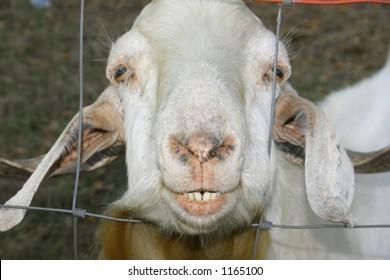 White Goat baring teeth