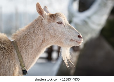 White goat with beard in white winter background