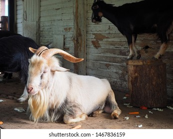 A white goat with big horns (Capra aegagrus hircus) is lying on the wooden floor of an animal house