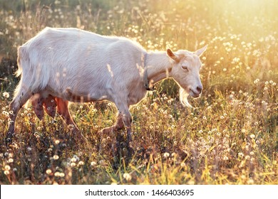 White goat with big udder in shining meadow eats golden bents