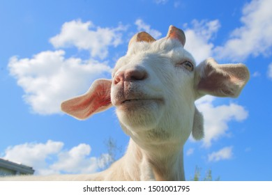 white goat blue sky country farm mammal