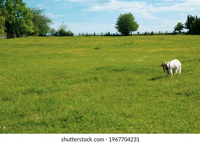A white goat with a brown head grazes alone in a large fenced meadow.