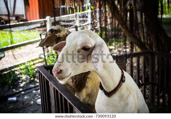White Goat Brown Sheep Climb Fence Stock Photo (Edit Now