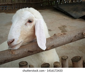 white goat in the cage.