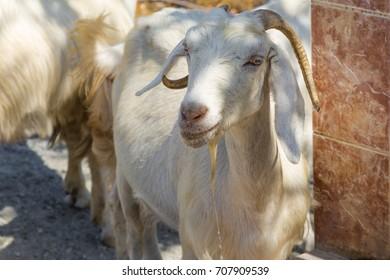 A white goat in Dalyan - Turkey