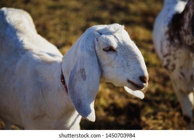 White goat, Domestic goat, Brown goat portrait