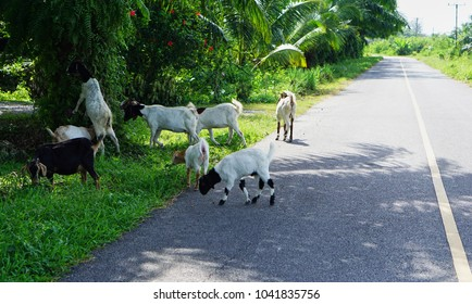 White goat are eating fern on Palm oil
