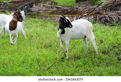 White goat are eating grass in the Palm oil plantations