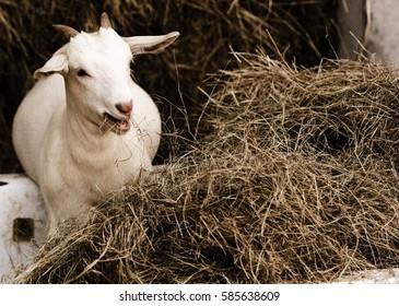White goat eating hay.