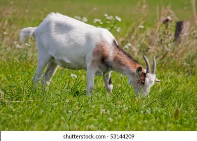 White goat eats grass