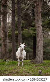 white goat in the forest