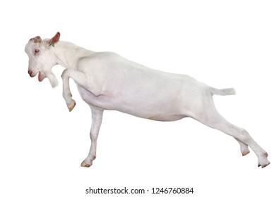 White goat full length isolated on white. Goat close up. Farm animals.