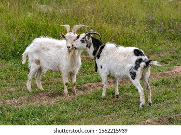 The white goat and gray goat were tired of fighting the horns, and a truce came. They pressed their heads to each other.