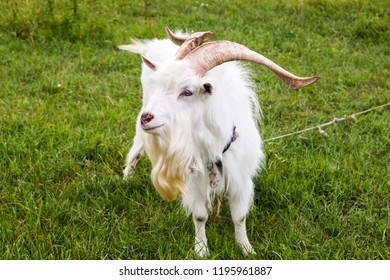 white goat is grazing in the field