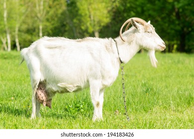 White goat grazing grass at the meadow