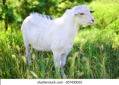 White goat grazing grass at  meadow