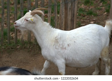 white goat with horns